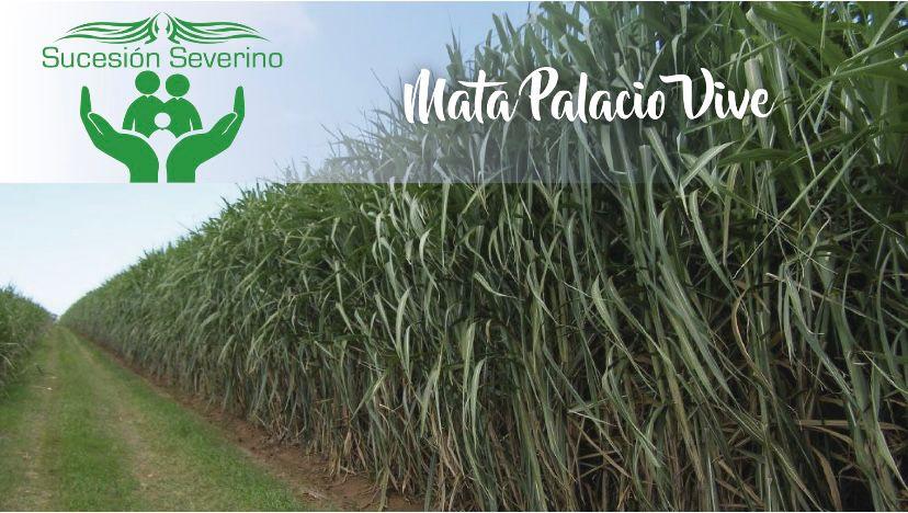 Sucesión Severino: ¡Mata Palacio vive!